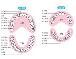 小児 乳歯の生え変わる順番